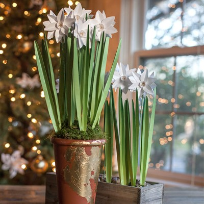 Potted Paper White Flowers